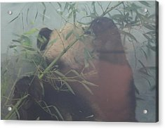 National Zoo - Panda - 01131 Acrylic Print by DC Photographer