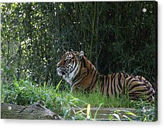 National Zoo - Tiger - 01136 Acrylic Print by DC Photographer
