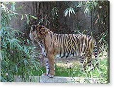 National Zoo - Tiger - 01137 Acrylic Print by DC Photographer