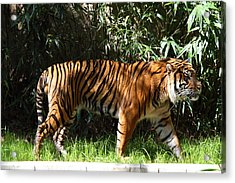National Zoo - Tiger - 01138 Acrylic Print by DC Photographer