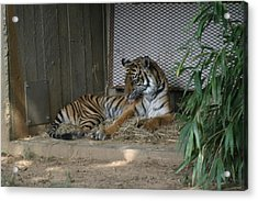 National Zoo - Tiger - 12122 Acrylic Print by DC Photographer