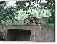 National Zoo - Tiger - 12128 Acrylic Print by DC Photographer
