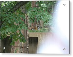 National Zoo - Tiger - 12129 Acrylic Print by DC Photographer