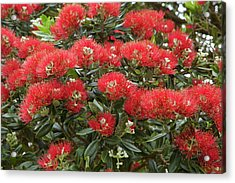 Native Pohutukawa Flowers (metrosideros Acrylic Print by David Wall