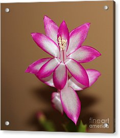 Natural Pink Christmas Cactus Acrylic Print by Michael Waters