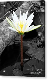 Natural White Water Lily Found On The East Coast Of Cozumel Island Mexico Color Splash Digital Art Acrylic Print by Shawn O'Brien