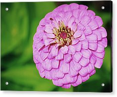 Nature's Boutonniere Acrylic Print by JAMART Photography