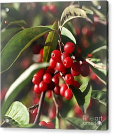 Natures Gift Of Red Berries Acrylic Print
