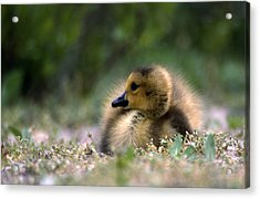Nature's Lil Wonder Acrylic Print by Skip Willits
