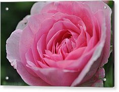 Nature's Pink Acrylic Print by Sabine Edrissi