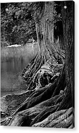 Natures Roots Acrylic Print by Gayle Johnson