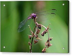 Dragonfly - Nature's Rose Acrylic Print