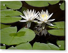 Nature's Snow White Water Lilies Acrylic Print by Linda Phelps
