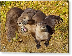 Acrylic Print featuring the photograph Naughty Otters by Aaron Whittemore