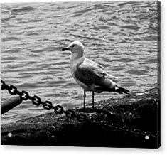 Navy Pier Seagull Acrylic Print