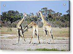 Necking Giraffes Botswana Acrylic Print