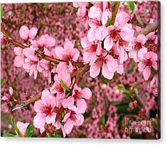 Nectarine Blossoms Acrylic Print by Polly Anna