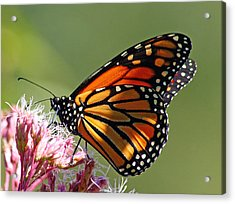 Acrylic Print featuring the photograph Nectaring Monarch Butterfly by Debbie Oppermann