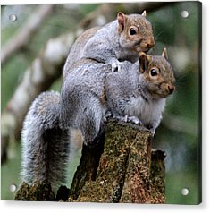 Fifty Shades Of Gray Squirrel Acrylic Print