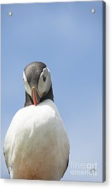 Need To Look My Best Acrylic Print by Anne Gilbert