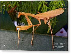 Neighborly Mantis Acrylic Print