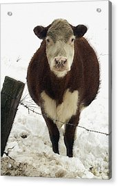 Neighbor's Cow Acrylic Print by Andrew Govan Dantzler