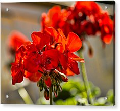 Acrylic Print featuring the photograph neighbour's flower DB by Leif Sohlman