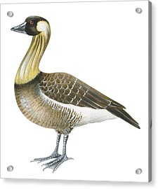 Nene Acrylic Print by Anonymous