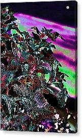 Neon Coleus Acrylic Print