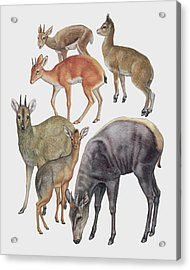 Neotraginae Mammals Acrylic Print by Deagostini/uig/science Photo Library