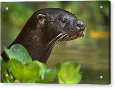 Neotropical Otter Lontra Longicaudis Acrylic Print by Panoramic Images