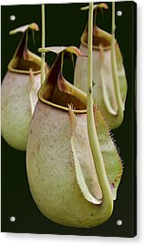 Nepenthes Acrylic Print by Roger Leege