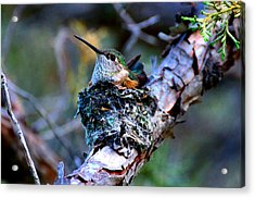 Nesting Hummingbird Acrylic Print