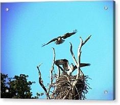 Nesting Ospray Acrylic Print by Will Boutin Photos