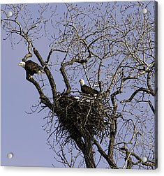Nesting Pair Of American Bald Eagles 1 Acrylic Print by Thomas Young
