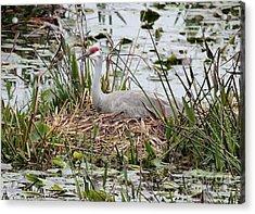 Nesting Sandhill Crane Acrylic Print by Carol Groenen