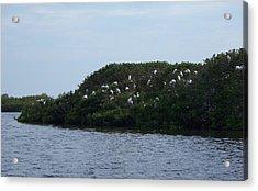 Nesting Storks Acrylic Print