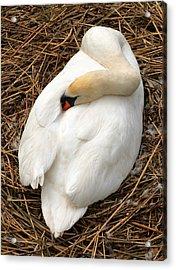 Nesting Swan Acrylic Print by Jim Hughes