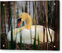 Nesting Swan Acrylic Print