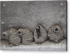 Nesting Time Acrylic Print by Douglas Barnard
