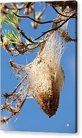 Nests Of Pine Processionary Caterpillar Acrylic Print by Ashley Cooper