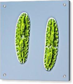 Netrium Oblongum Green Algae Acrylic Print