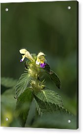 Acrylic Print featuring the photograph Nettle by Leif Sohlman