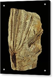 Neuropteridium Tree Fern Fossil Acrylic Print