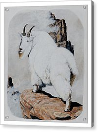 Nevada Rocky Mountain Goat Acrylic Print