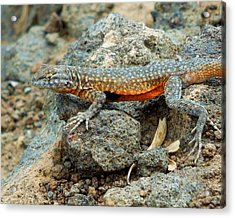Acrylic Print featuring the photograph Nevada Side-blotched Lizard by Heidi Manly