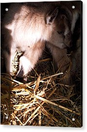 New Born Baby Goat Acrylic Print by Nickolas Kossup