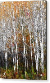 New England Autumn Birches Acrylic Print by Bill Wakeley