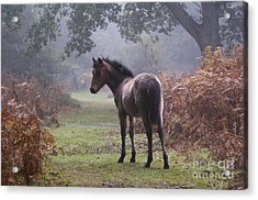 New Forest Pony Acrylic Print by Dave Pressland FLPA