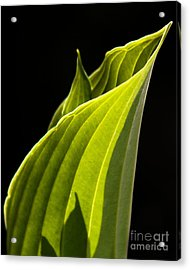 New Hosta Acrylic Print